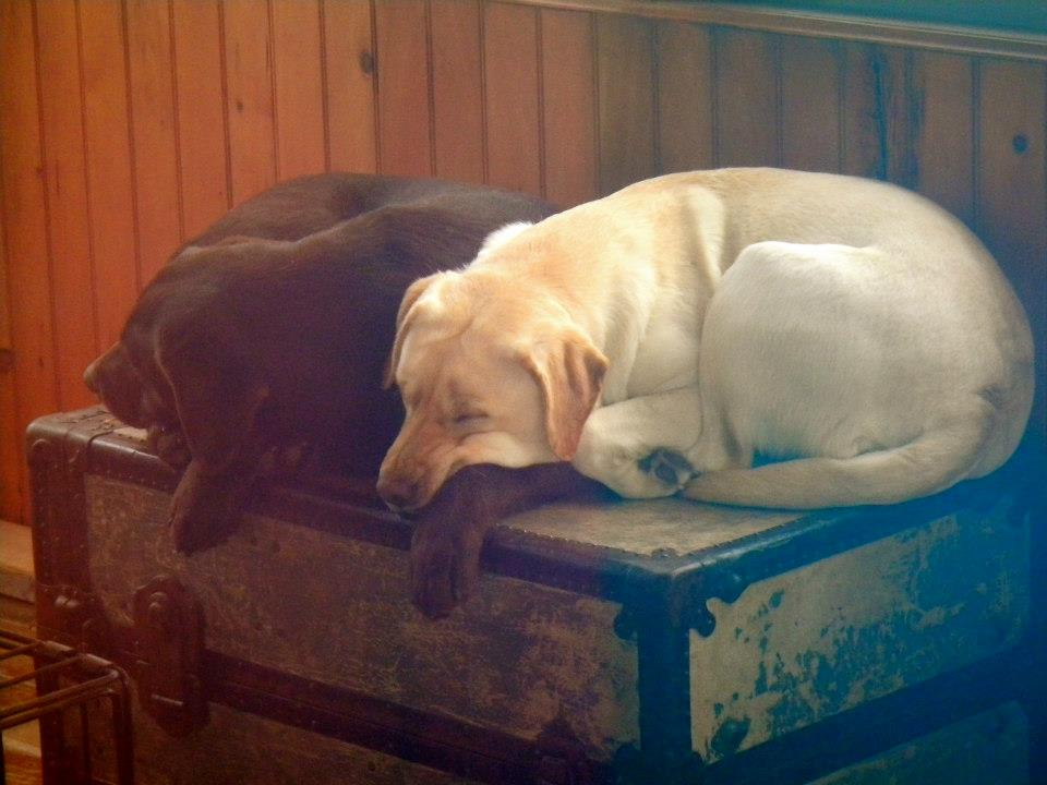 Granitehill Labradors | A small family owned kennel in New